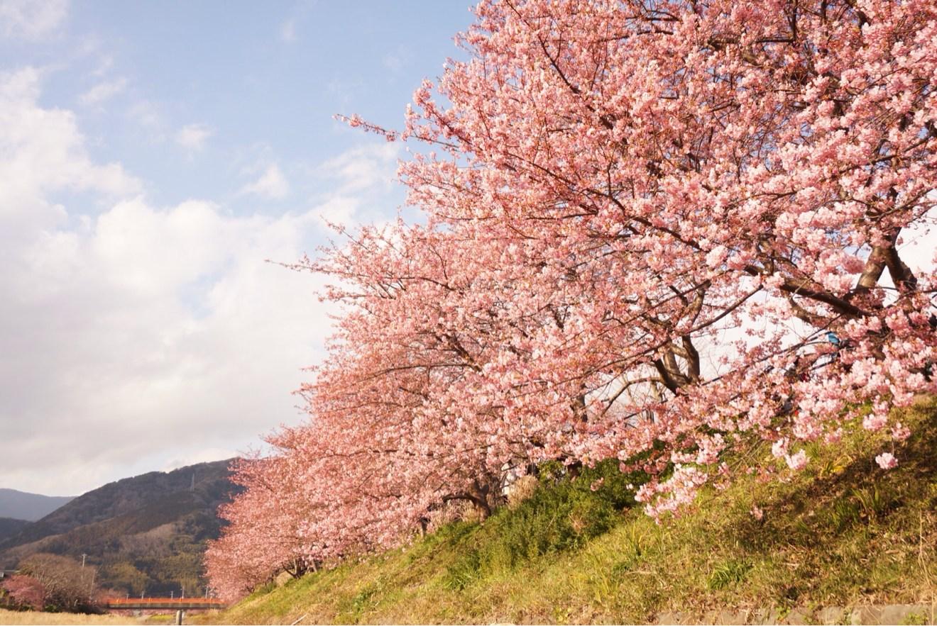 河川敷からの河津桜まつり
