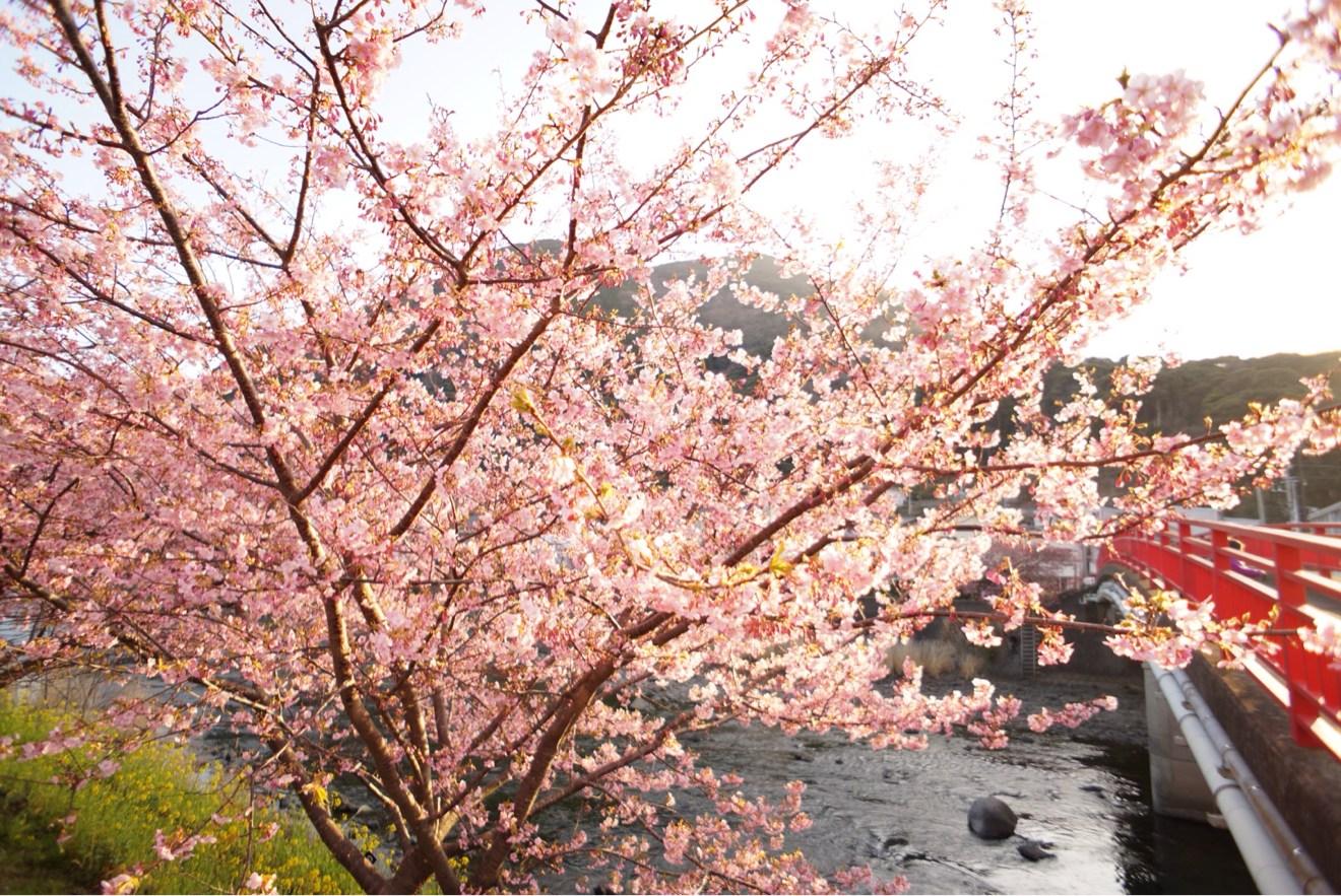 赤い橋とのコラボ桜