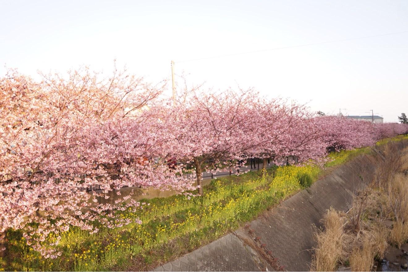 続く続く桜並木