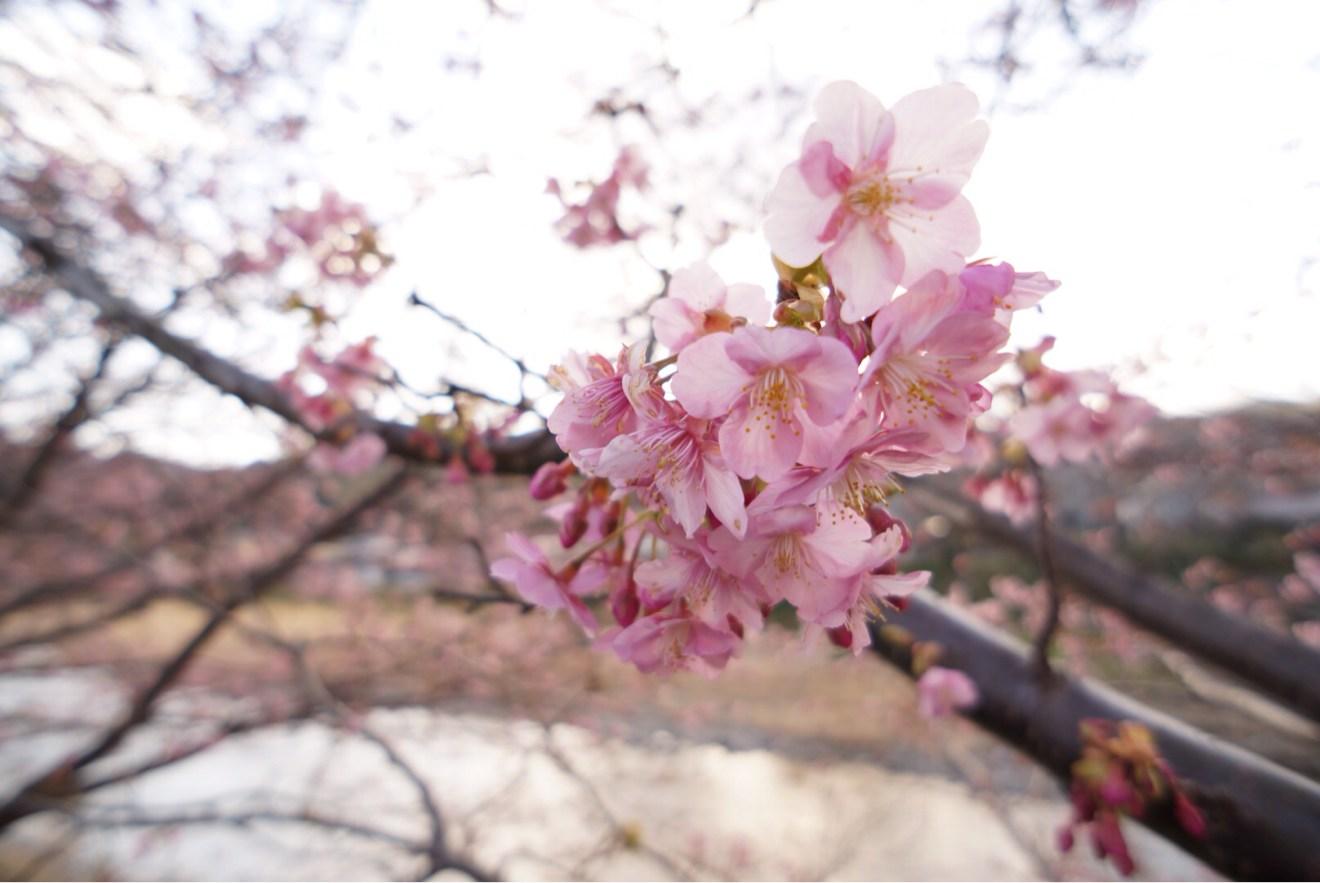 少しずつ咲き始めている河津桜