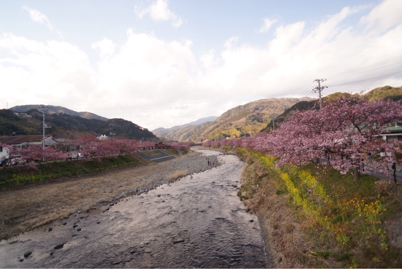 河川敷 河津桜