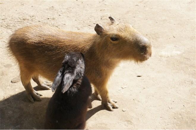 カピバラとウサギ