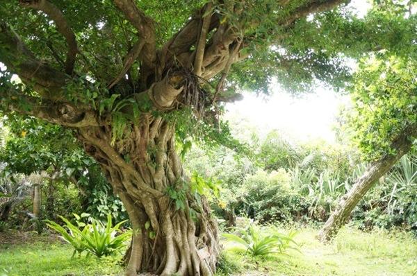 長寿っぽい木