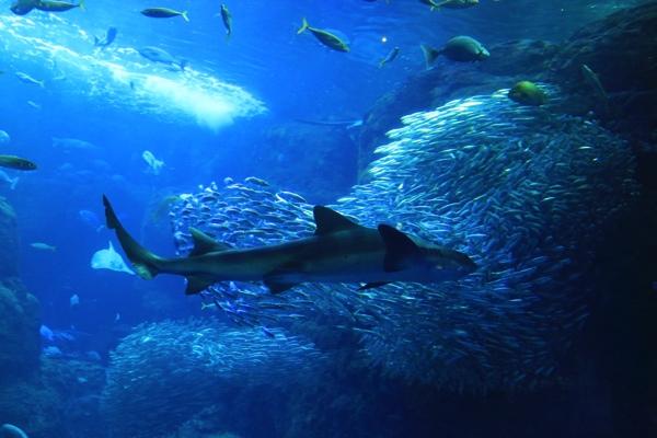 およぐサメ
