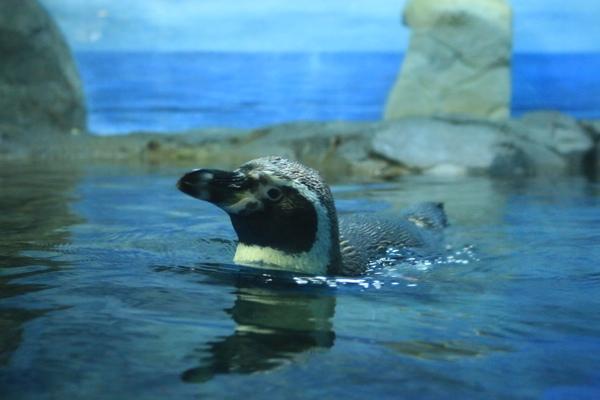 ペンギンの顔出し