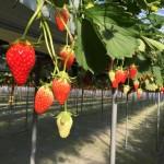 [Å] アクアライン経由で好アクセス!千葉県「石橋農園」のイチゴ狩りが甘い苺食べ放題で凄く良い!