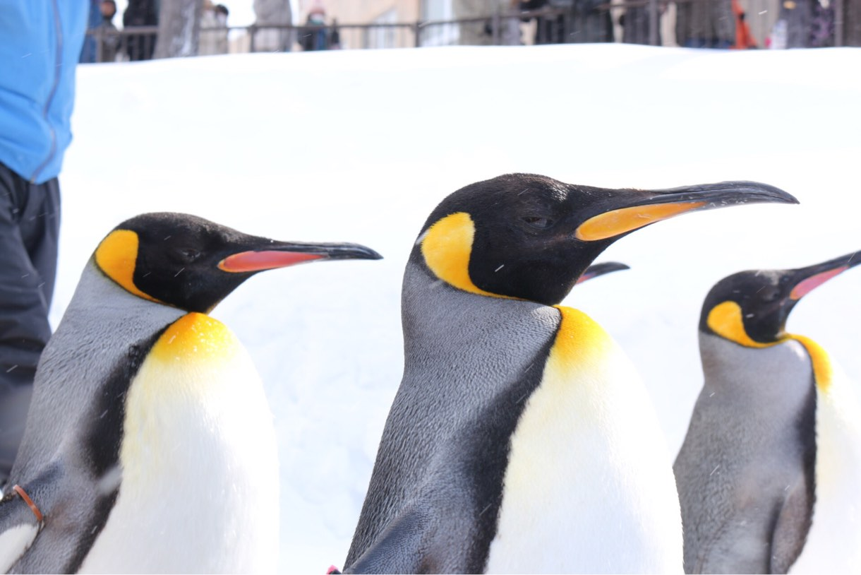 目の前を通り過ぎるペンギン