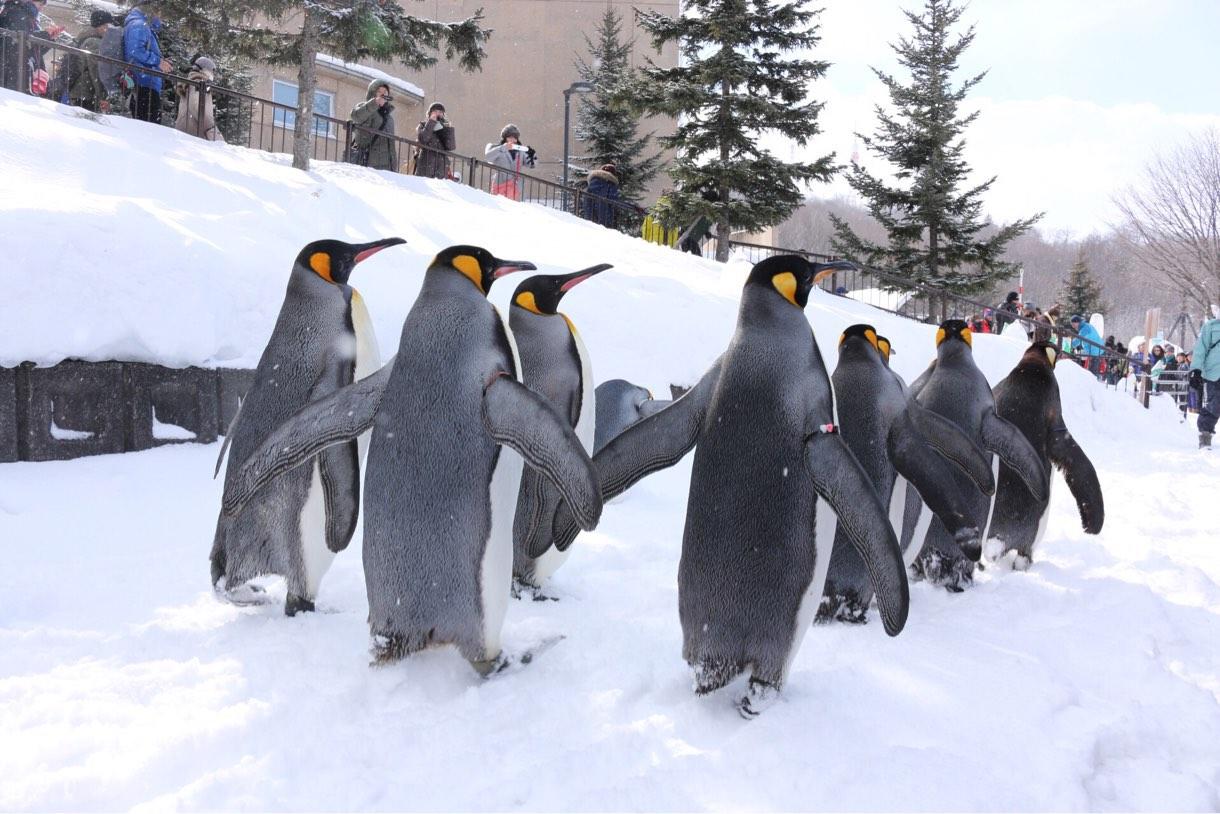 [Å] 旭山動物園のペンギンのお散歩何時から?ペンギンが目の前を歩く姿が可愛すぎて2回見てきた!