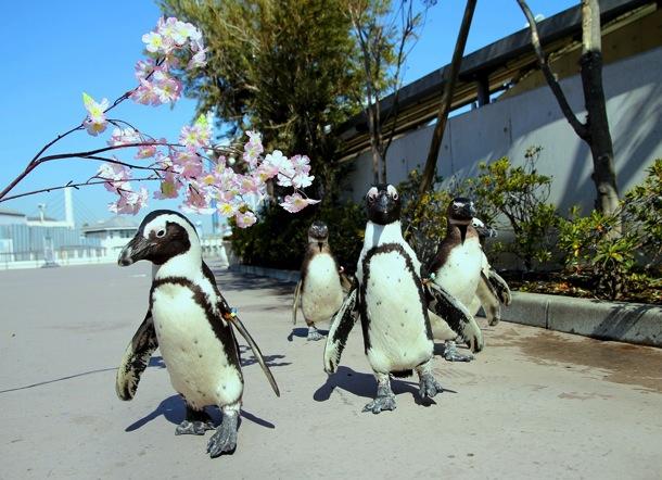 お花見ペンギンパレード