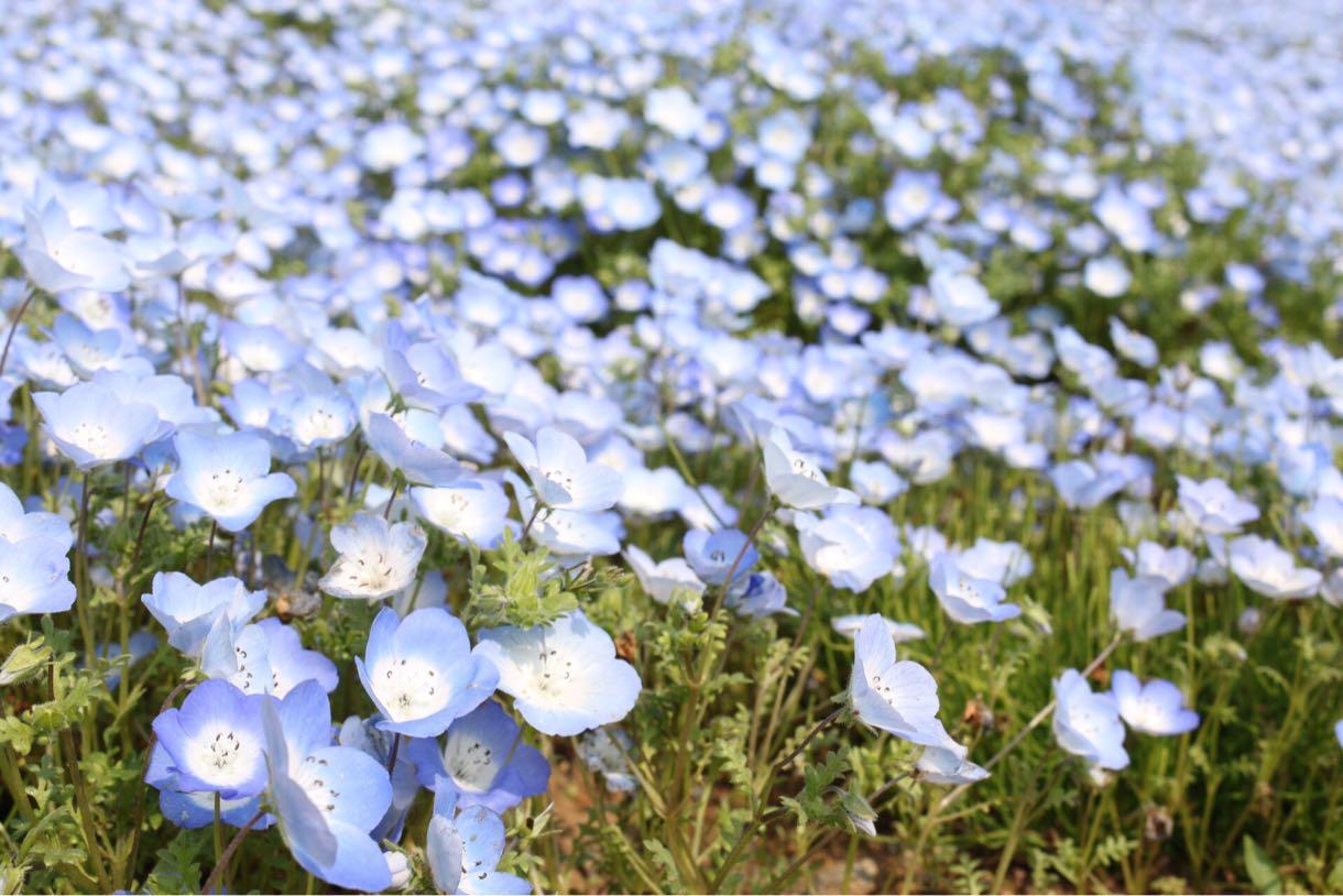ネモフィラのお花