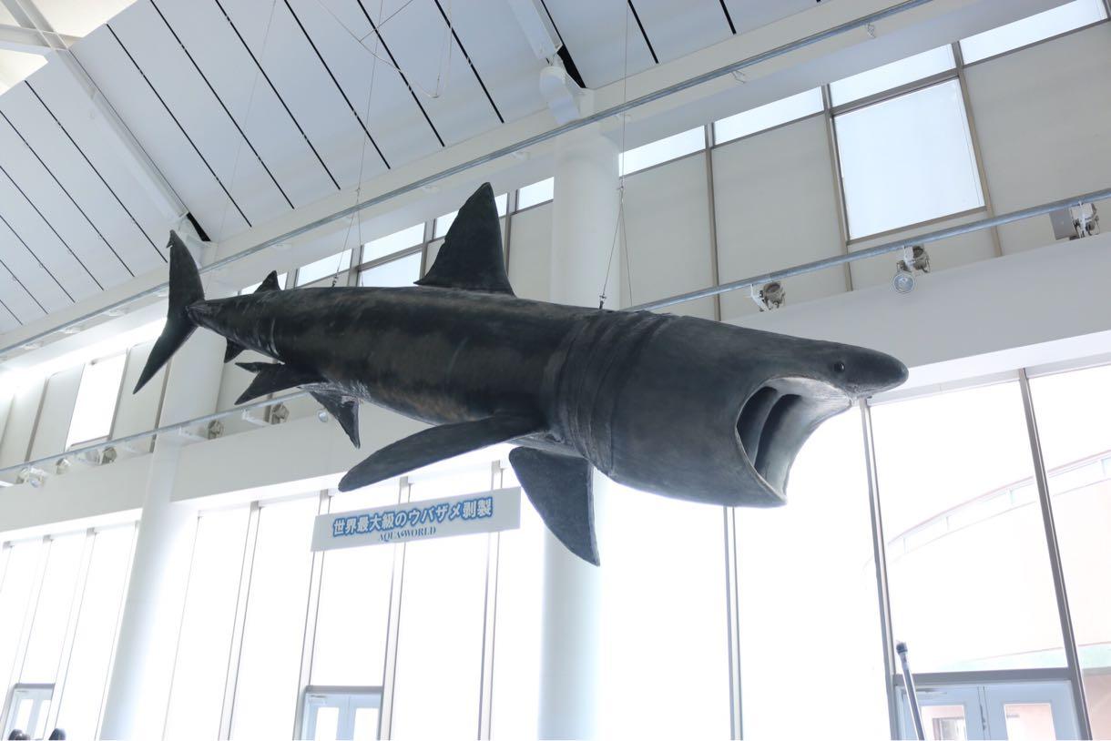 世界最大のウバザメ剥製