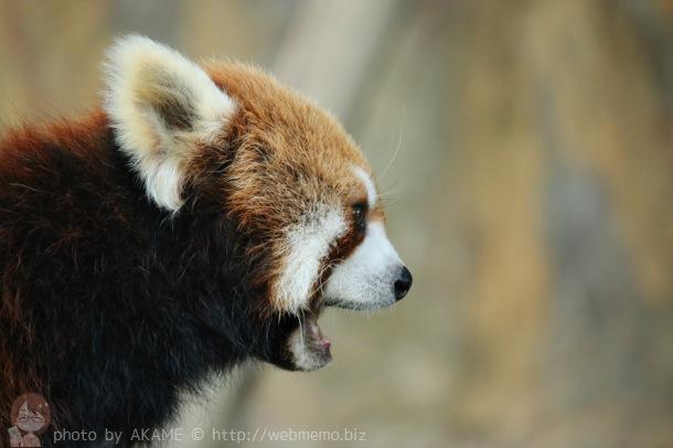 大きな口のレッサーパンダ