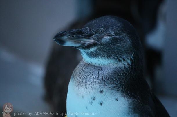 眠そうなペンギン