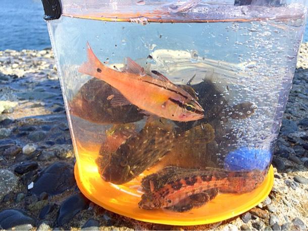 堤防釣り 透明バケツと魚