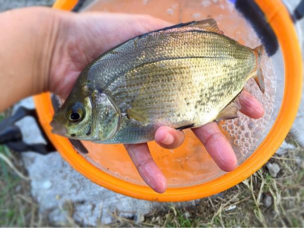 ウミタナゴってこんな魚