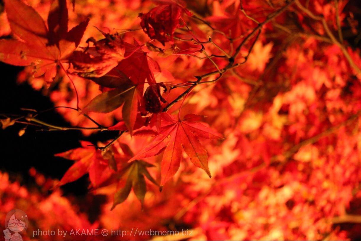 赤く輝く紅葉