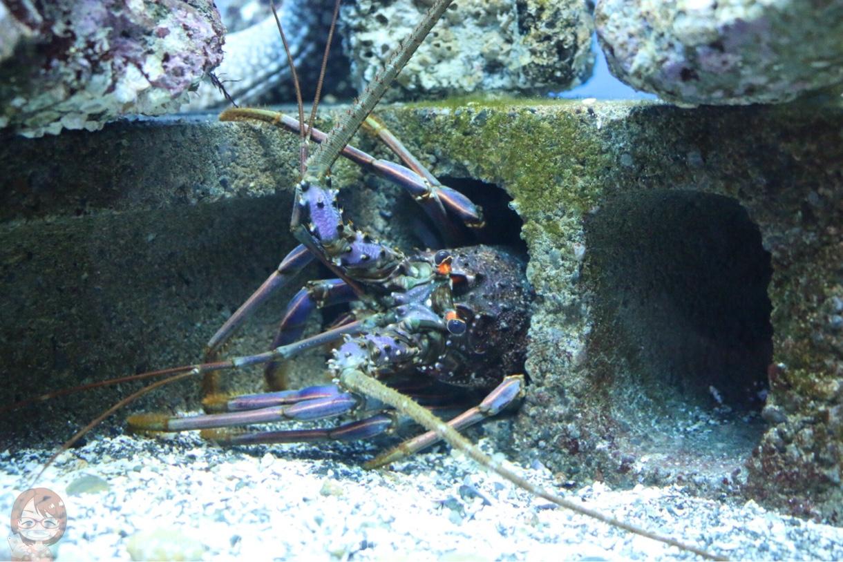 淡島水族館で撮影した写真 伊勢エビ