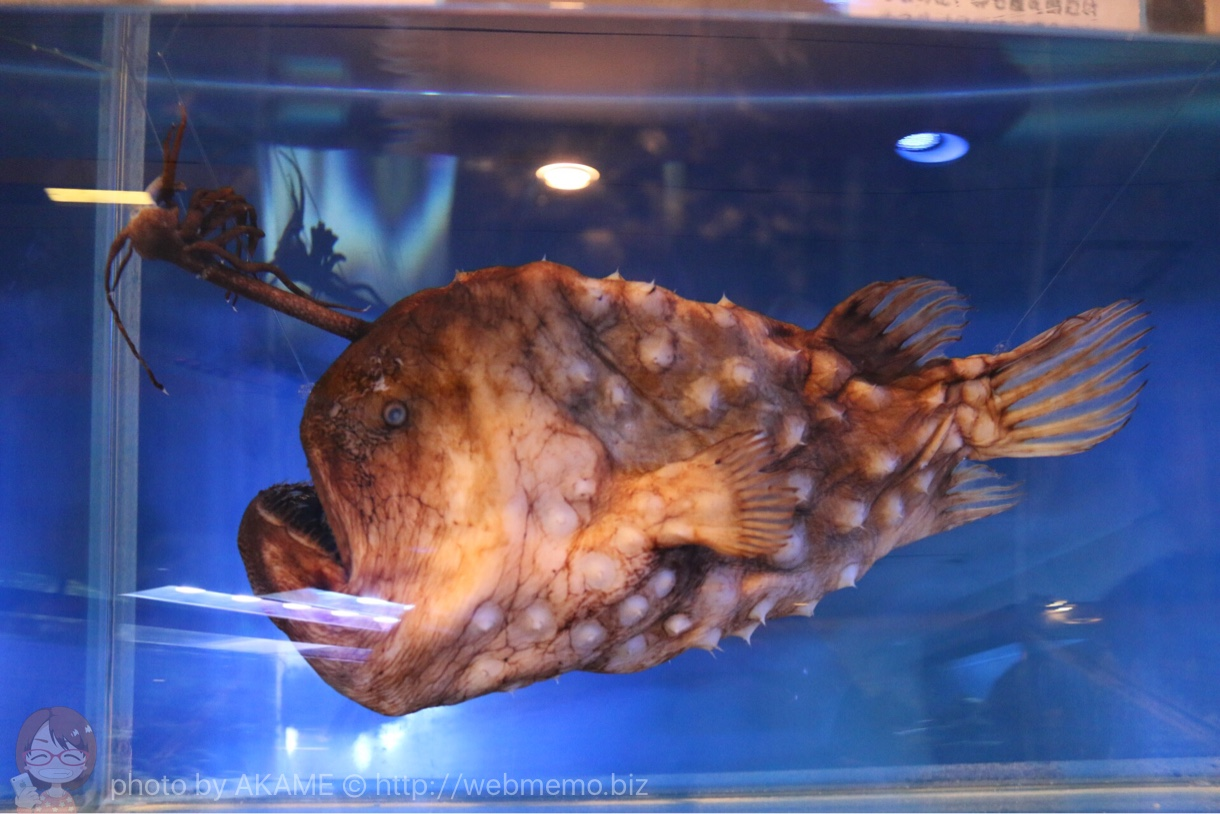 淡島水族館で撮影した写真 チョウチンアンコウ