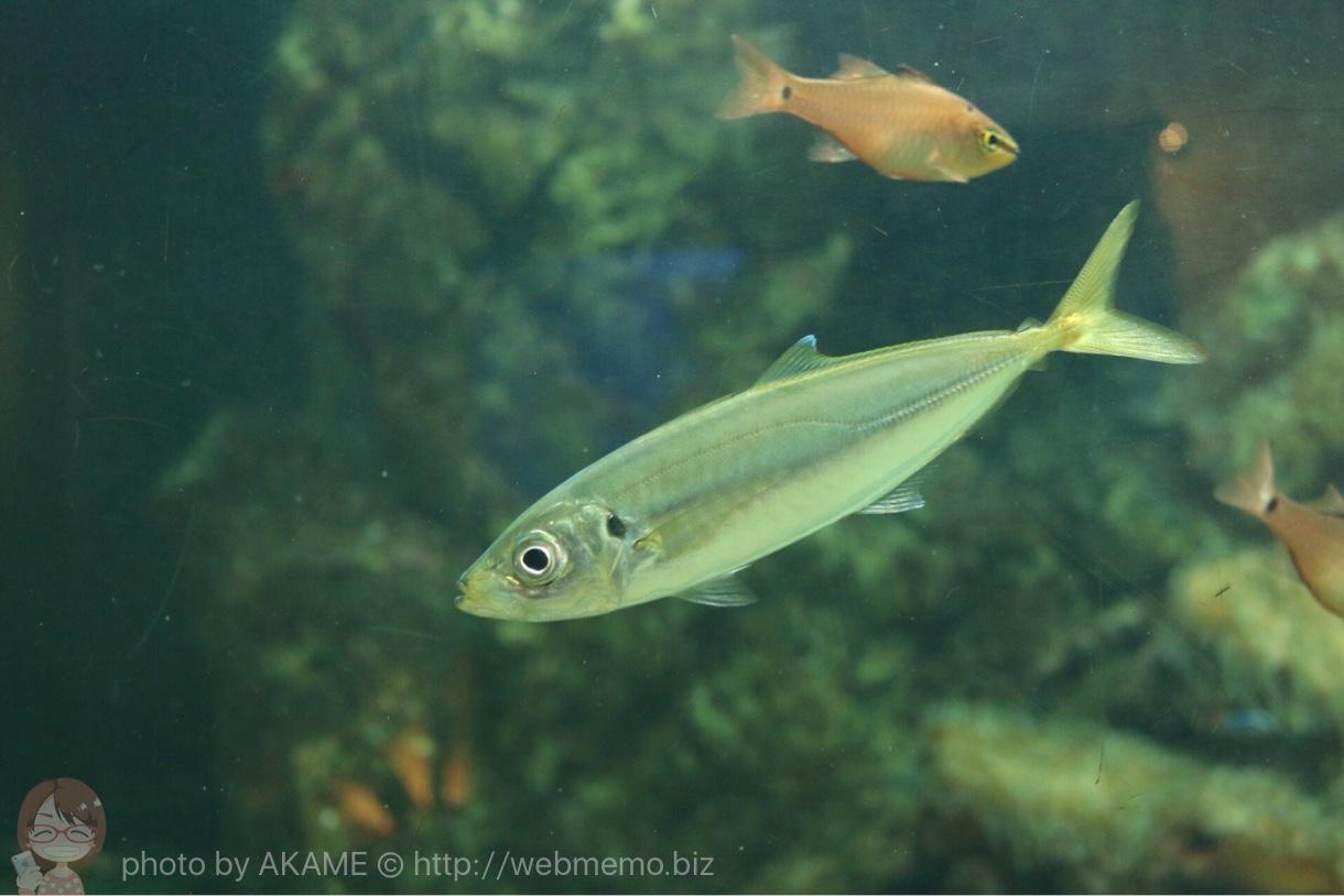 淡島水族館で撮影した写真 アジ