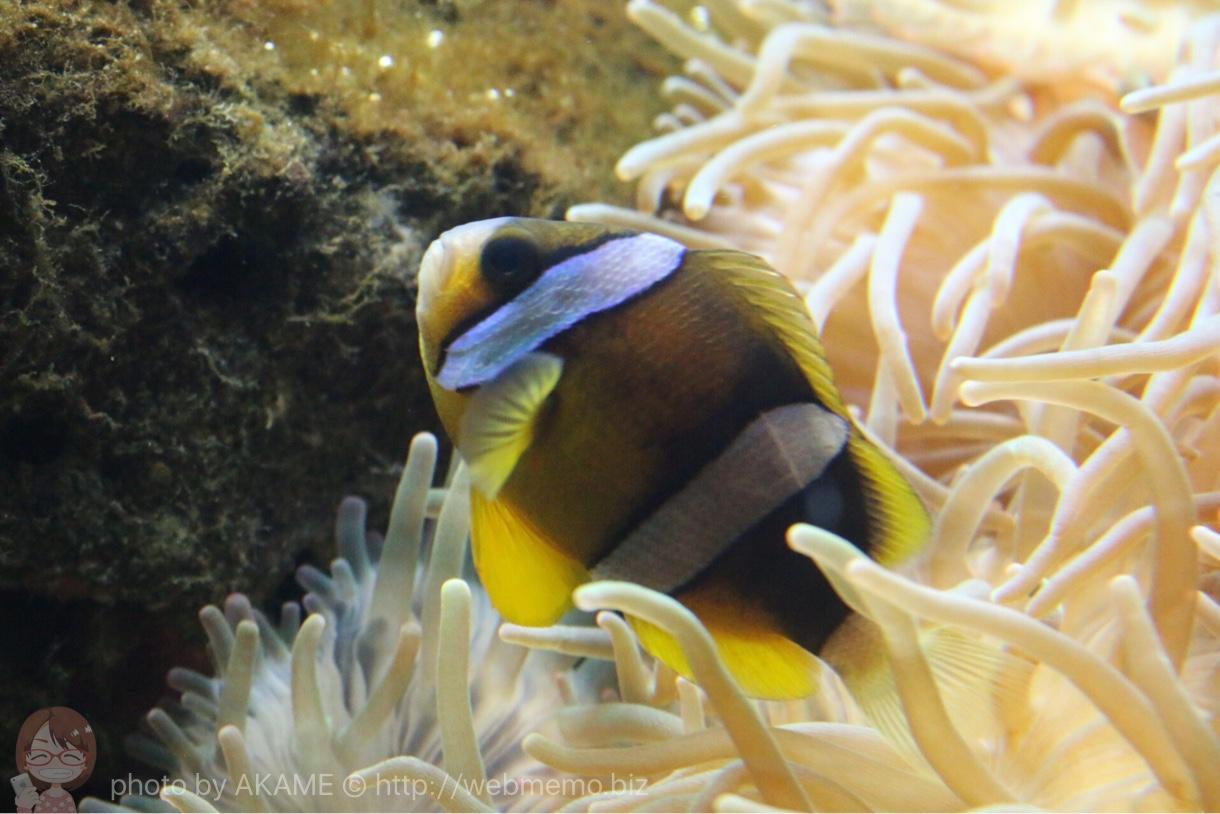 淡島水族館で撮影した写真 クマノミ