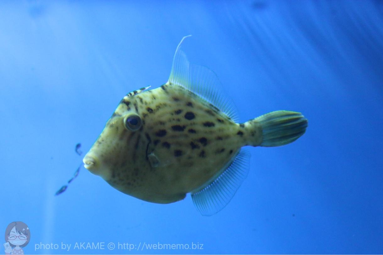 淡島水族館で撮影した写真 カワハギ