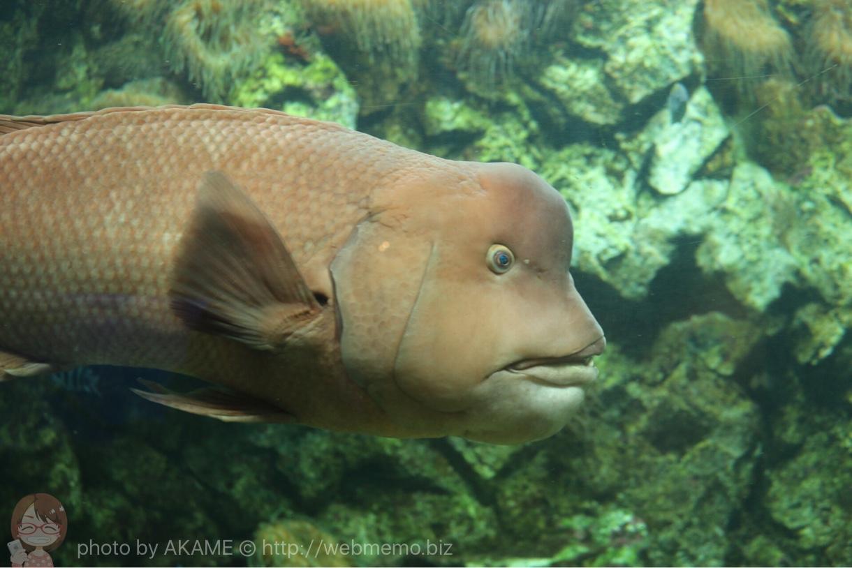 淡島水族館で撮影した写真 コブダイ