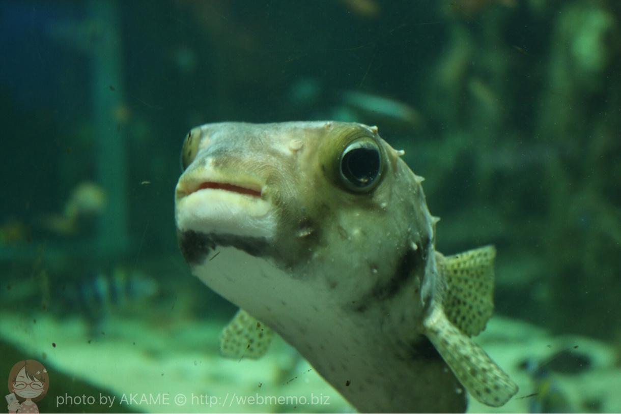 淡島水族館で撮影した写真 フグ
