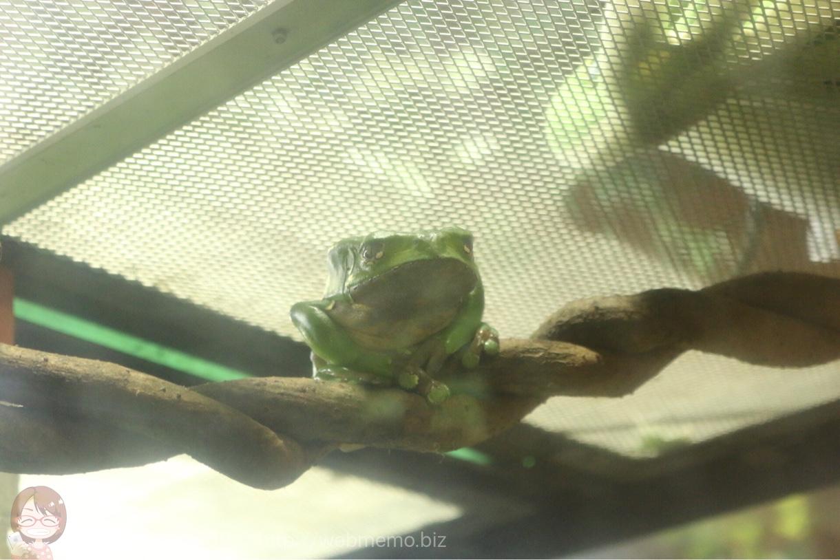 カエルらしいカエル