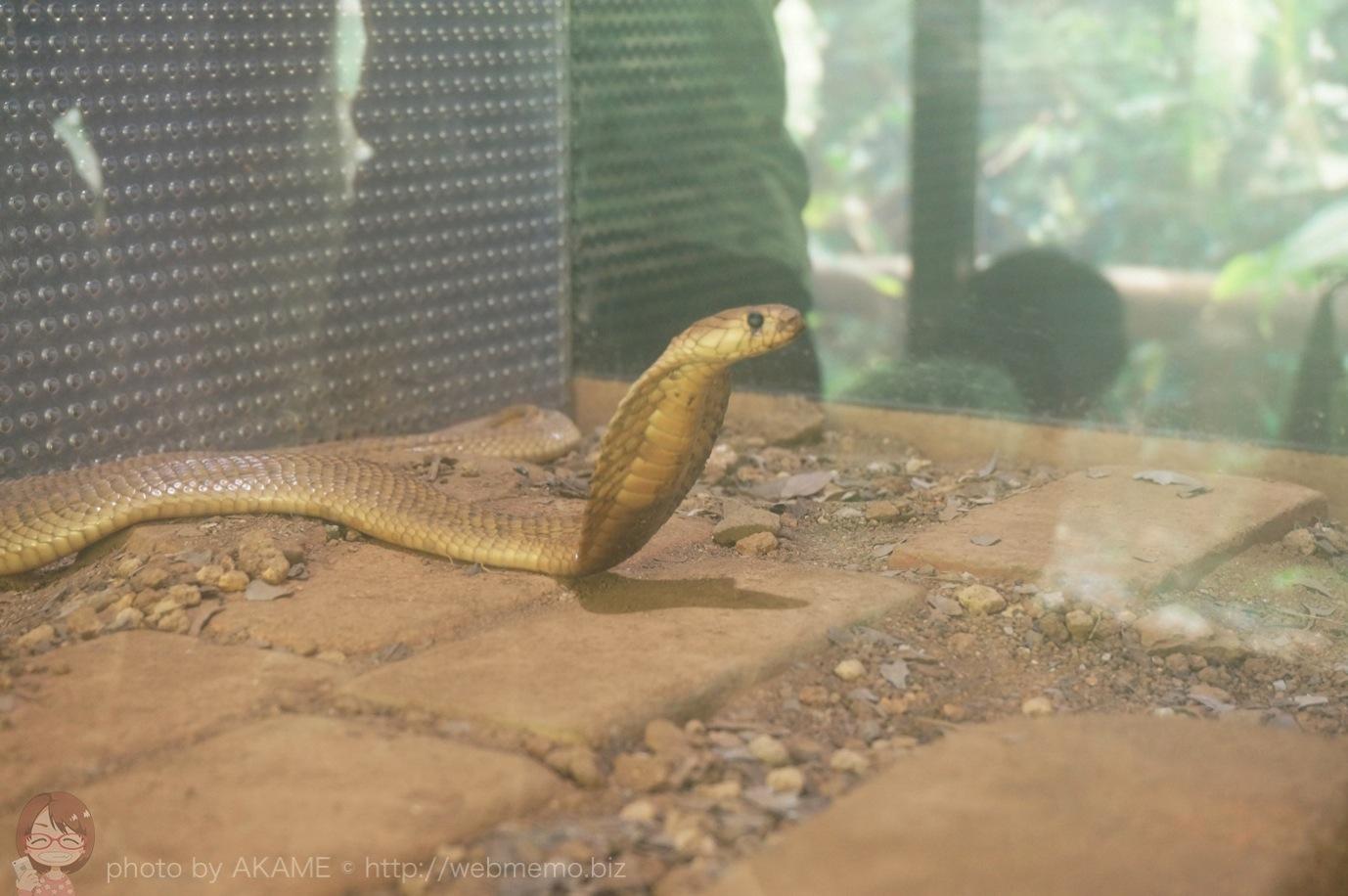 動いているコブラ