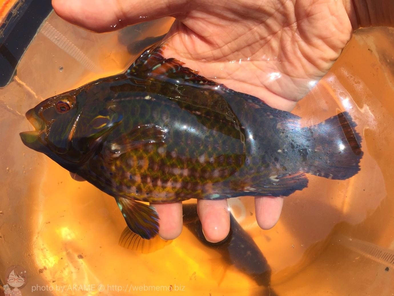 ゴールデンウィークの城ヶ島 釣りの成果
