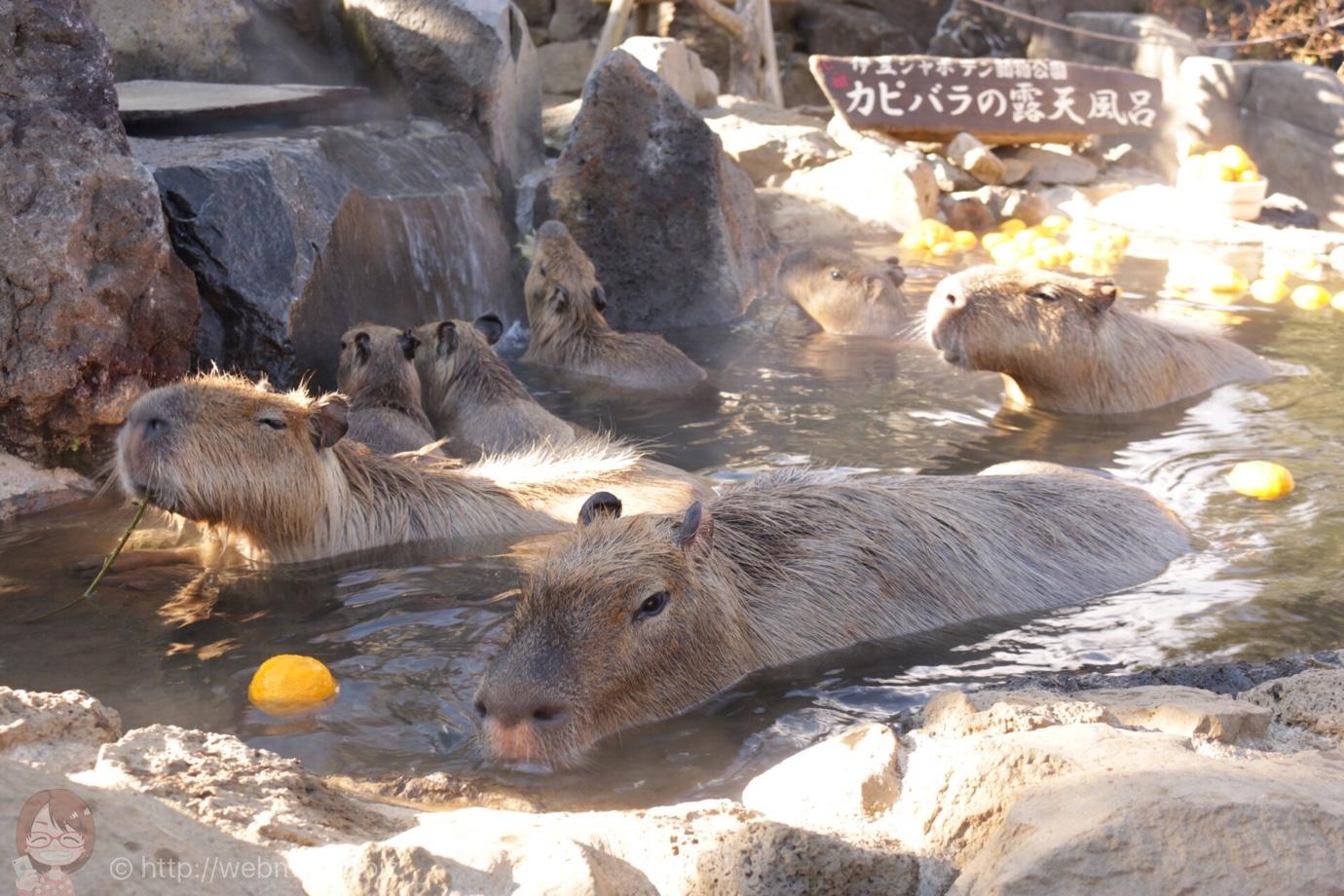 伊豆「シャボテン動物公園」の元祖カピバラの露天風呂が可愛すぎ!まさに癒しの極み