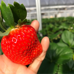 [Å] 千葉県「ドラゴンファーム」のイチゴ狩りが幸せ!15種類のイチゴ食べ放題