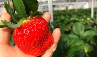 千葉県「ドラゴンファーム」のイチゴ狩りが幸せ!15種類のイチゴ食べ放題