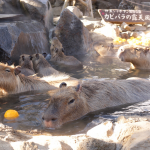 [Å] 伊豆「シャボテン動物公園」の元祖カピバラの露天風呂が可愛すぎ!まさに癒しの極み