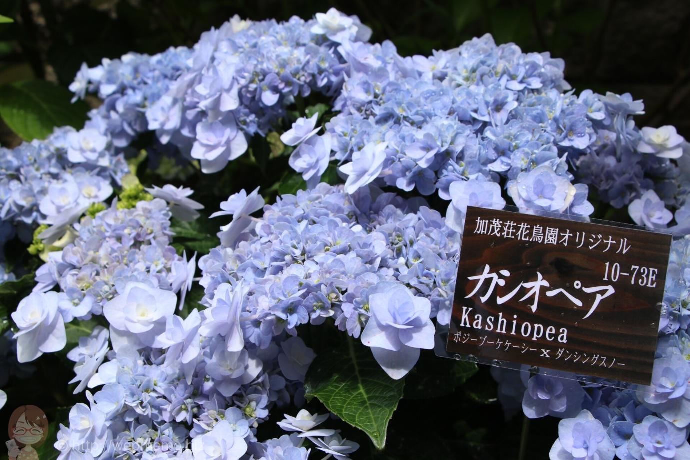北鎌倉のアジサイを100種類以上楽しめる「あじさい展」が記憶に残るアジサイスポット!