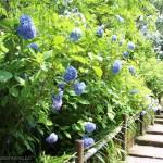 [Å] 北鎌倉 アジサイの時期の明月院、平日なのにヤバすぎ!大混雑でゆっくり見れず!笑