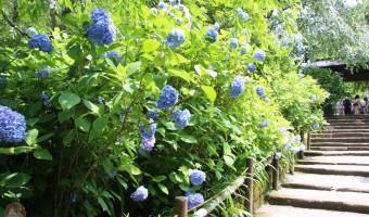 北鎌倉 アジサイの時期の明月院、平日なのにヤバすぎ!大混雑でゆっくり見れず!笑
