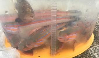 神奈川県三崎 7月 釣りのシーズン到来で過去最高のニシキハゼ祭り楽しむ![釣り録20]