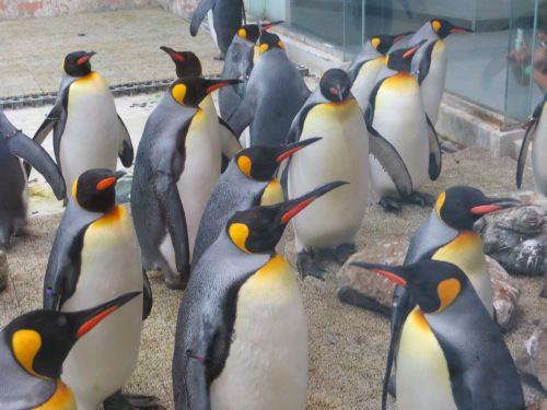 たくさんのペンギン