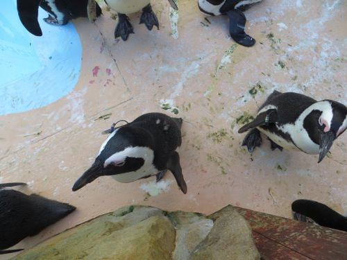 上からのペンギン