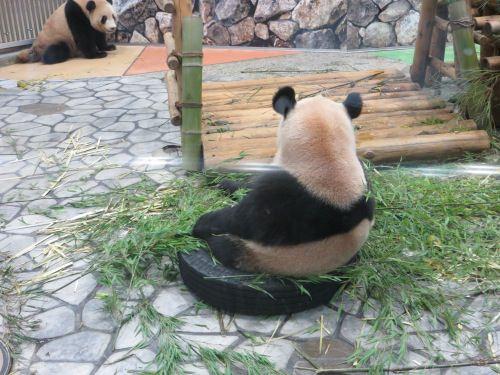 そっぽ向くパンダ