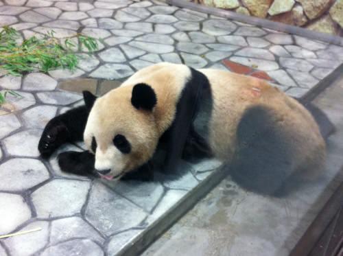 大接近パンダ