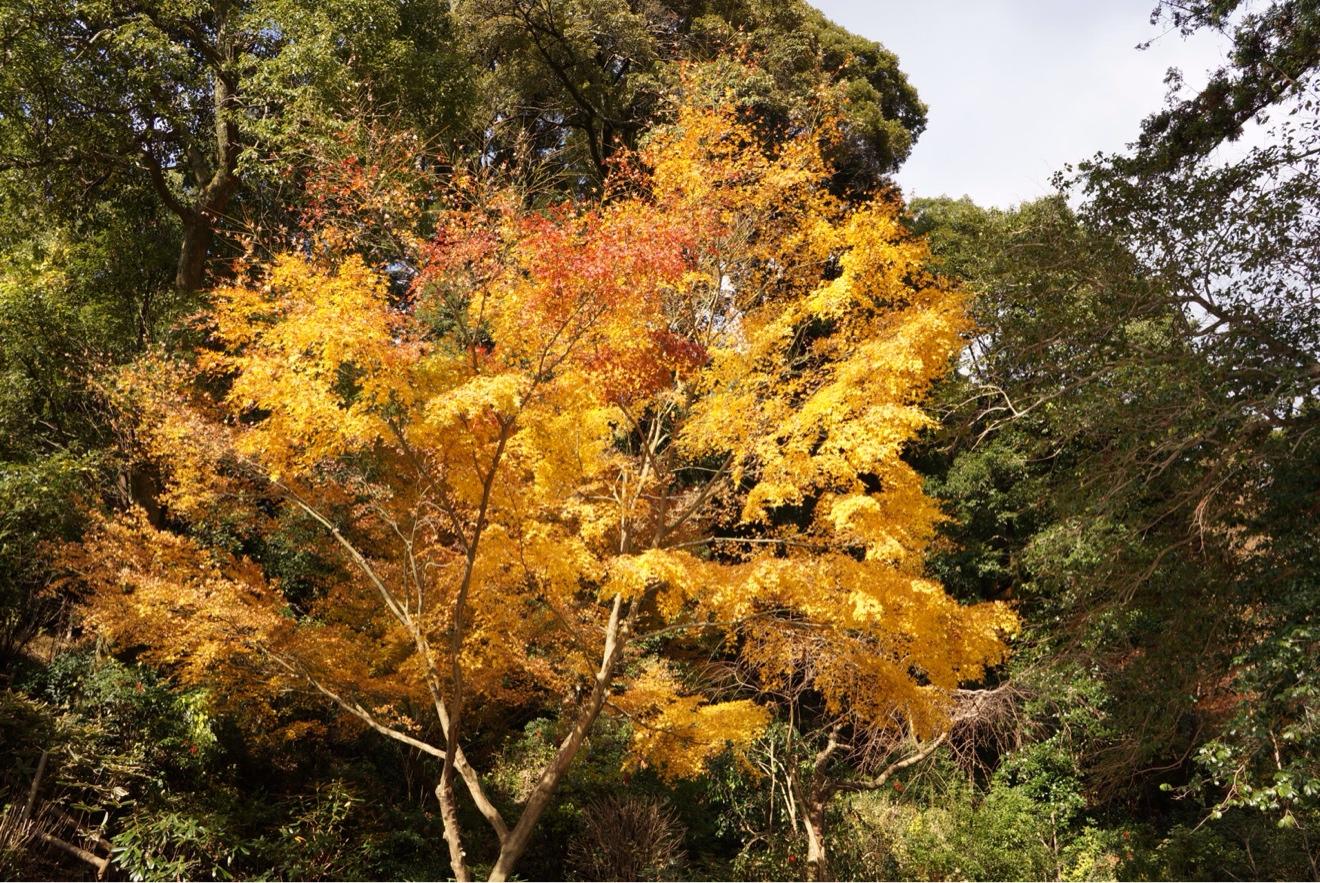 南蔵院 紅葉