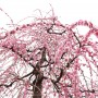 [Å] 梅の香りに包まれる曽我梅林 曽我別所の梅まつりはしだれ梅が美しいおすすめスポット