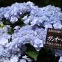 [Å] 北鎌倉のアジサイを100種類以上楽しめる「あじさい展」が記憶に残るアジサイスポット!
